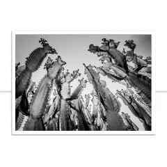 Quadro Cactus gigantes P&B por Edmoraes